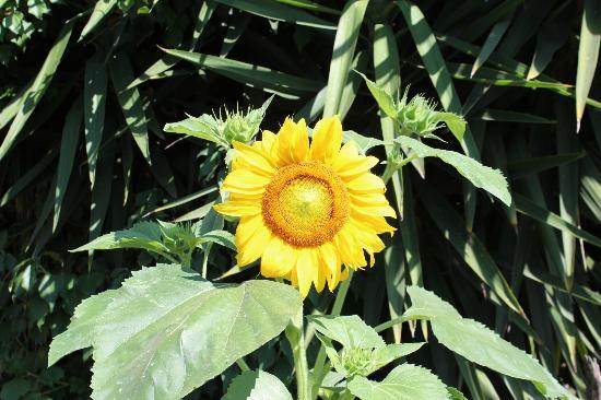 B&B Pompei Welcome : Girasole in giardino