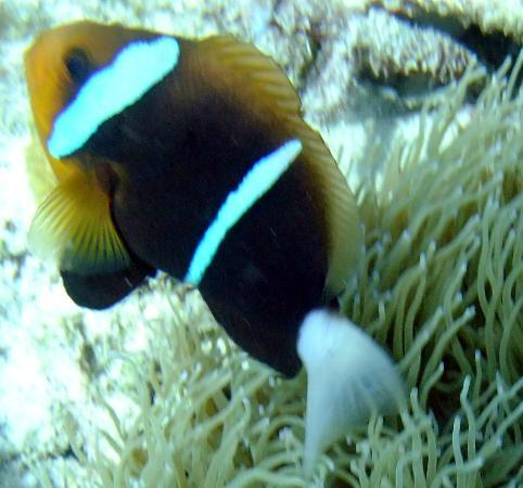Sanbis Resort: clown fish