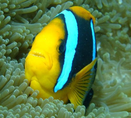 Sanbis Resort: diving with clown fish