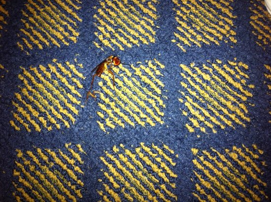 "BEST WESTERN Oceanside Inn: Smashed roach about 2 1/2"" long"