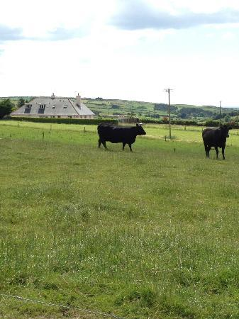 Rosalithir Bed & Breakfast: Black Angus beef cattle on the farm at the B&B