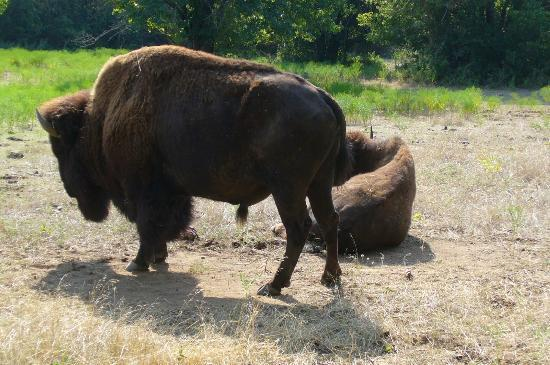 Chickasaw National Recreation Area: BISON