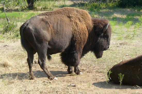 Sulphur, OK: Bison at the Bison Viewpoint