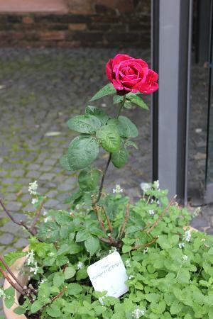 Museum am Strom - Hildegard von Bingen: Hildegaard von Bingen Rose