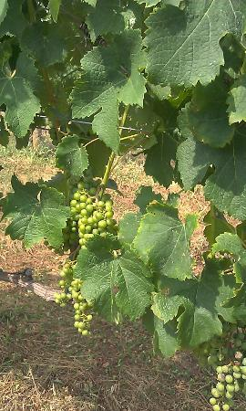 Blenheim Vineyards: Young Grapes - Blenheim