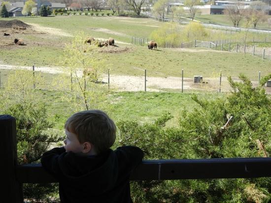 جريت وولف لودج ترافيرس سيتي: Buffalo herd 