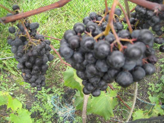 Ake Ake Vineyard Restaurant: Grapes everywhere you looked