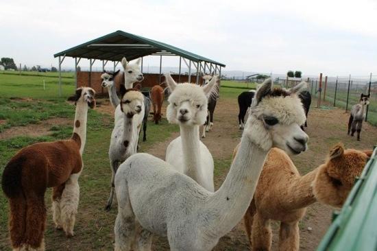Spring Harvest Fiber Mill: all girls alpacas