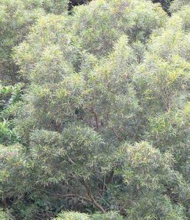 Senator Fong's Plantation and Gardens: Formosan Koa Tree