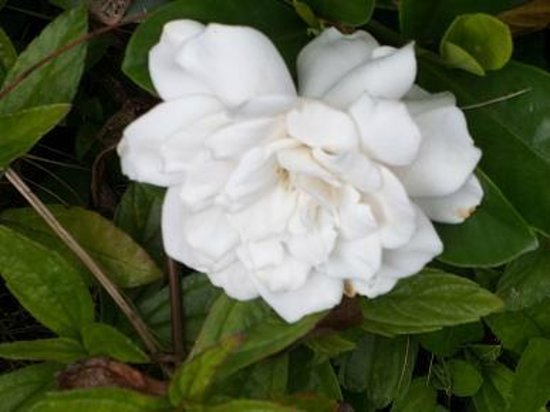 Senator Fong's Plantation and Gardens: Gardenia flower on tree