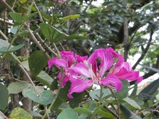 Senator Fong's Plantation and Gardens: Hong Kong Orchid Tree Bauhinia