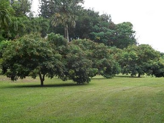 Senator Fong's Plantation and Gardens: Lychee trees in the orchard.