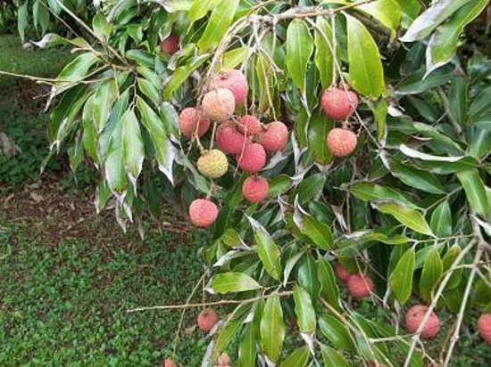 Lychee Fruits Picture Of Senator Fong 39 S Plantation And Gardens Kaneohe Tripadvisor