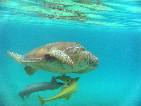 Akumal Beach : Turtle