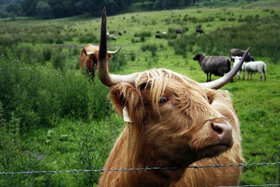 The Hairy Coo - Free Scottish Highlands Tour: One of the Coos