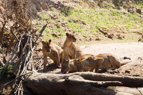 Mwamba Bushcamp (Shenton Safaris) : Mwamba pride