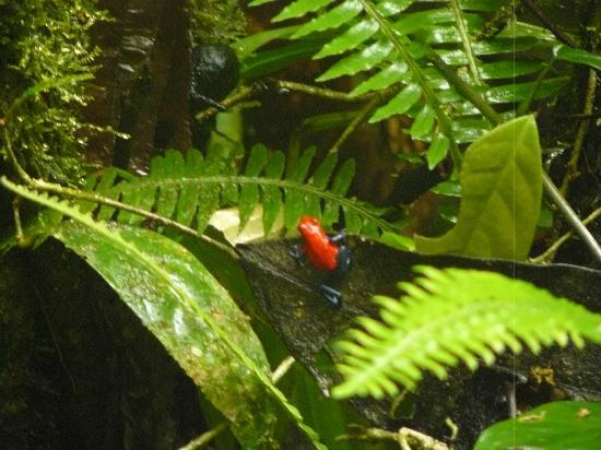 Ecoterra Costa Rica: Dart Frog