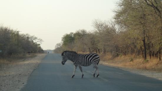 Grand Kruger Lodge: cebra a pocas cuadras del hotel