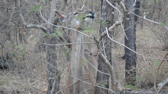 Grand Kruger Lodge: Antilope en la puerta de la cabaña