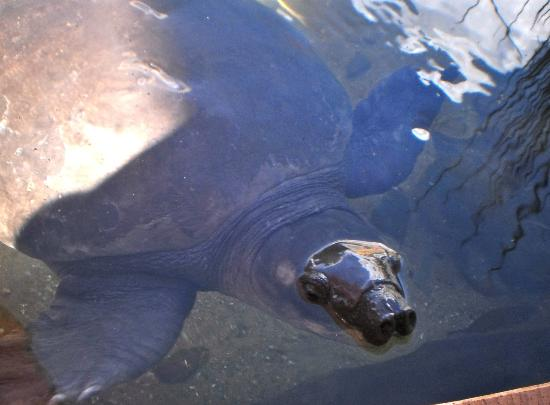 Crocosaurus Cove: Pig nosed turtle so cute!
