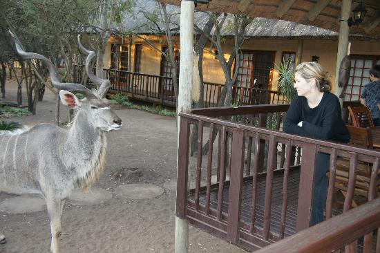 "Needles Lodge: Wife meets ""Cyclops"", the Kudu"