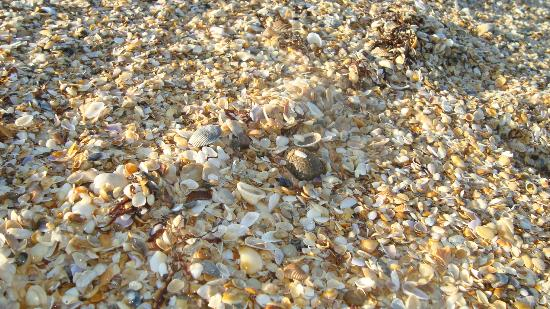 Vilano Beach, FL: Example of the TON of shells you can find at LOW tide.