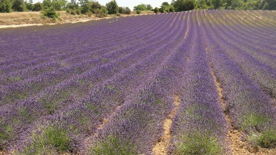 Clos Saint-Jean : Lavender Field