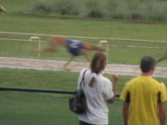 Ebro Greyhound Park: They're chasing the bunny!