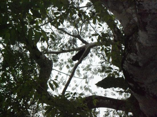 Black Orchid Resort: kind of hard to see, but there's a howler monkey right in the center!