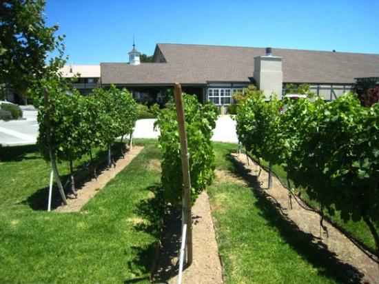 هادستين هاوس: Small grape plot outside office