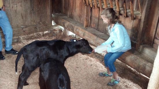 Fairburn Farmstay and Guesthouse: Feeding Calf