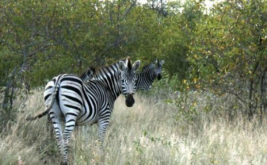 Tanda Tula Safari Camp: The shy Zebra