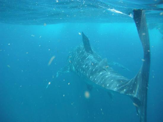 Beachfront Hotel La Palapa: squalo balena a Holbox