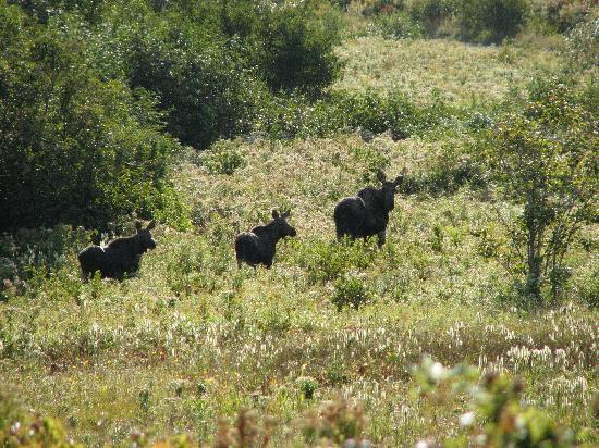 Acres and Ocean Cottages at Ocean Haven: moose
