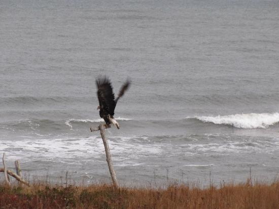 Acres and Ocean Cottages at Ocean Haven: eagles