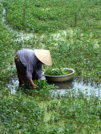 Hoi An Locas Private Day Tours: Picking Water Asparigas