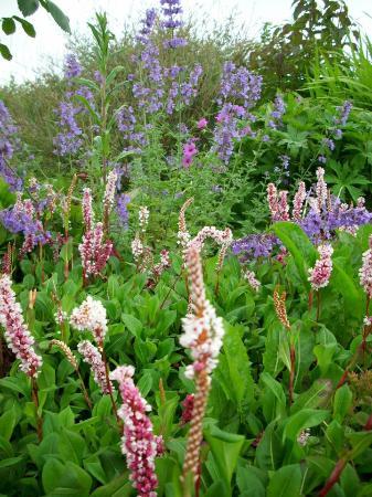 Doolin Garden and Nursery: Polygonum