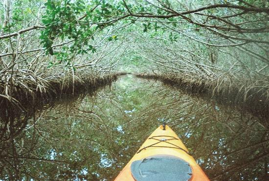 Caladesi Island State Park: Kayaking in through the mangroves