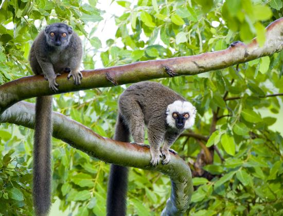 White Fronted Lemurs On An Island Seen From The Primate