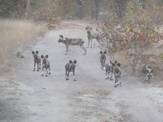 Shindzela Tented Safari Camp: African Painted Dogs--very rare