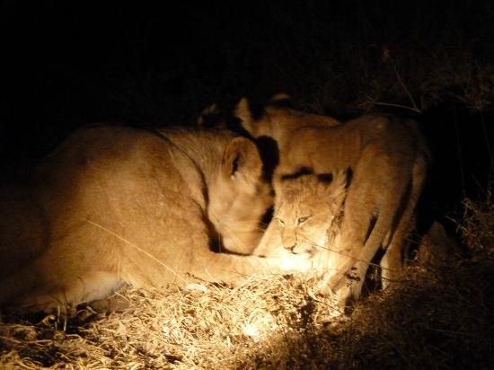 Shindzela Tented Camp: lion cubs after dark