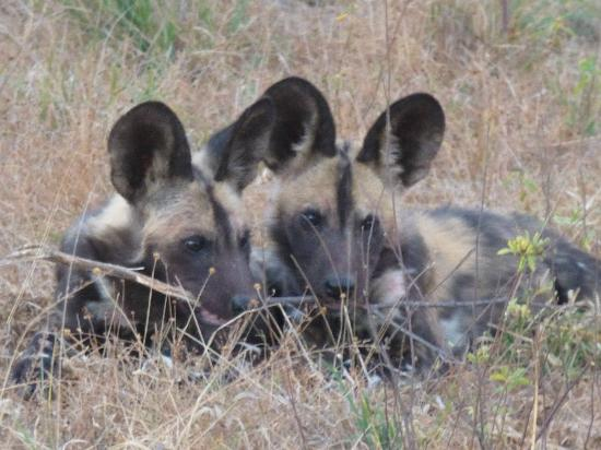 Shindzela Tented Camp: African painted dog pups