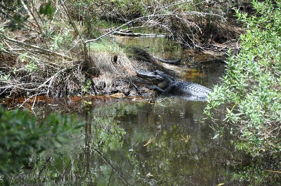 The Lodge on Little St. Simons Island: Gator spotted along Beach Road