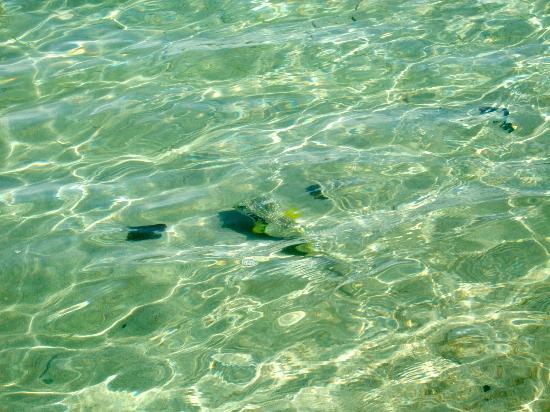 Hotel & Club Punta Leona: Playa Blanca beach - Puffer Fish in clear blue water. Amazing!