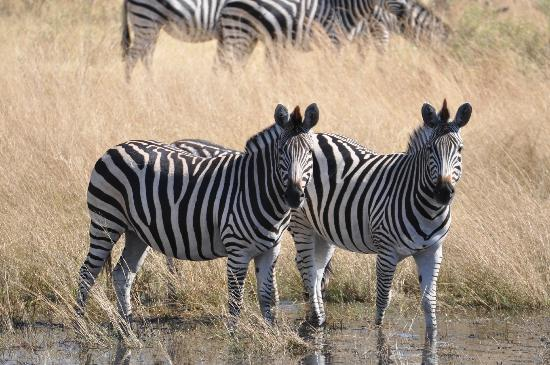 Great Plains Conservation Selinda Camp: Zebras