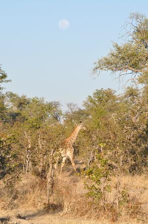 Great Plains Conservation Selinda Camp: giraffe and the moon