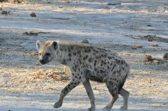 Selinda Camp: our friend the hyena