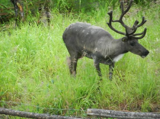 Riverboat Discovery : Rendeer at Chena Village
