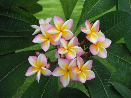 La Pirogue Resort & Spa: les fleurs de frangipanier