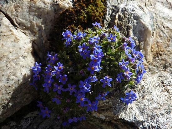 Hotel Sarazena : Noch im August findet man hier auf dem Gornergrat diese schönen Bergblumen.